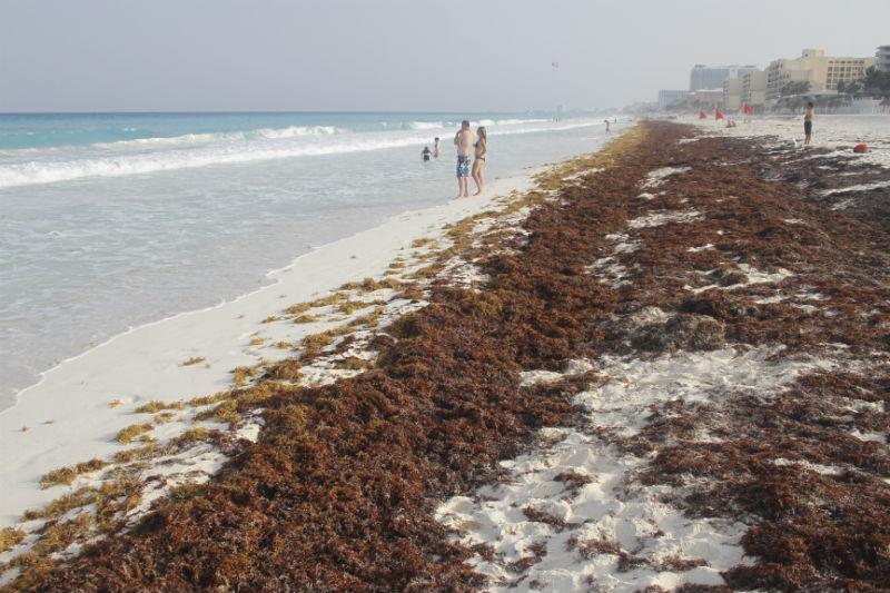 Vuelve sargazo a playas en el Caribe mexicano